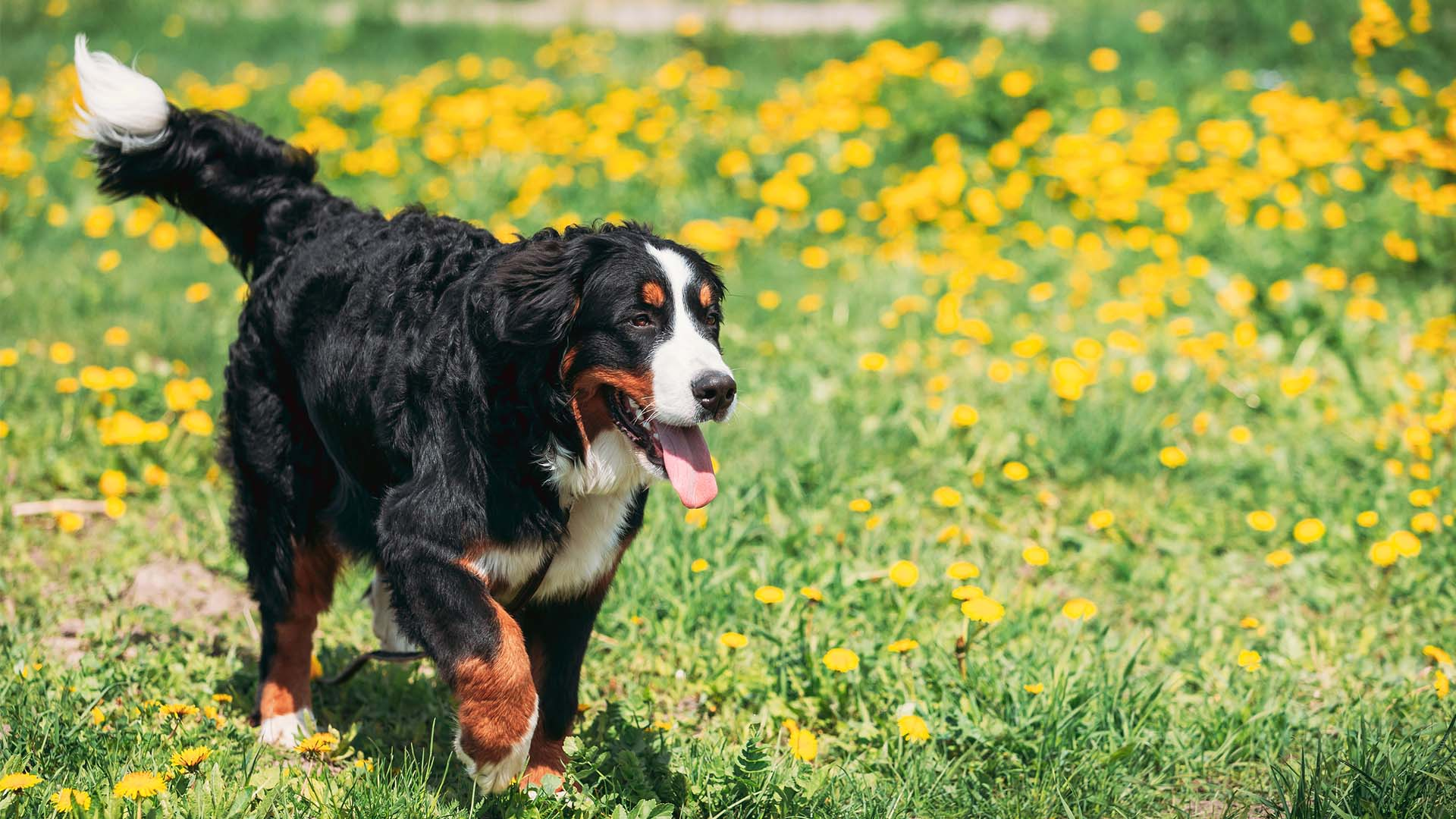 Nito Ranch | Brandon, SD: Bernese Mountain Dog and Golden
