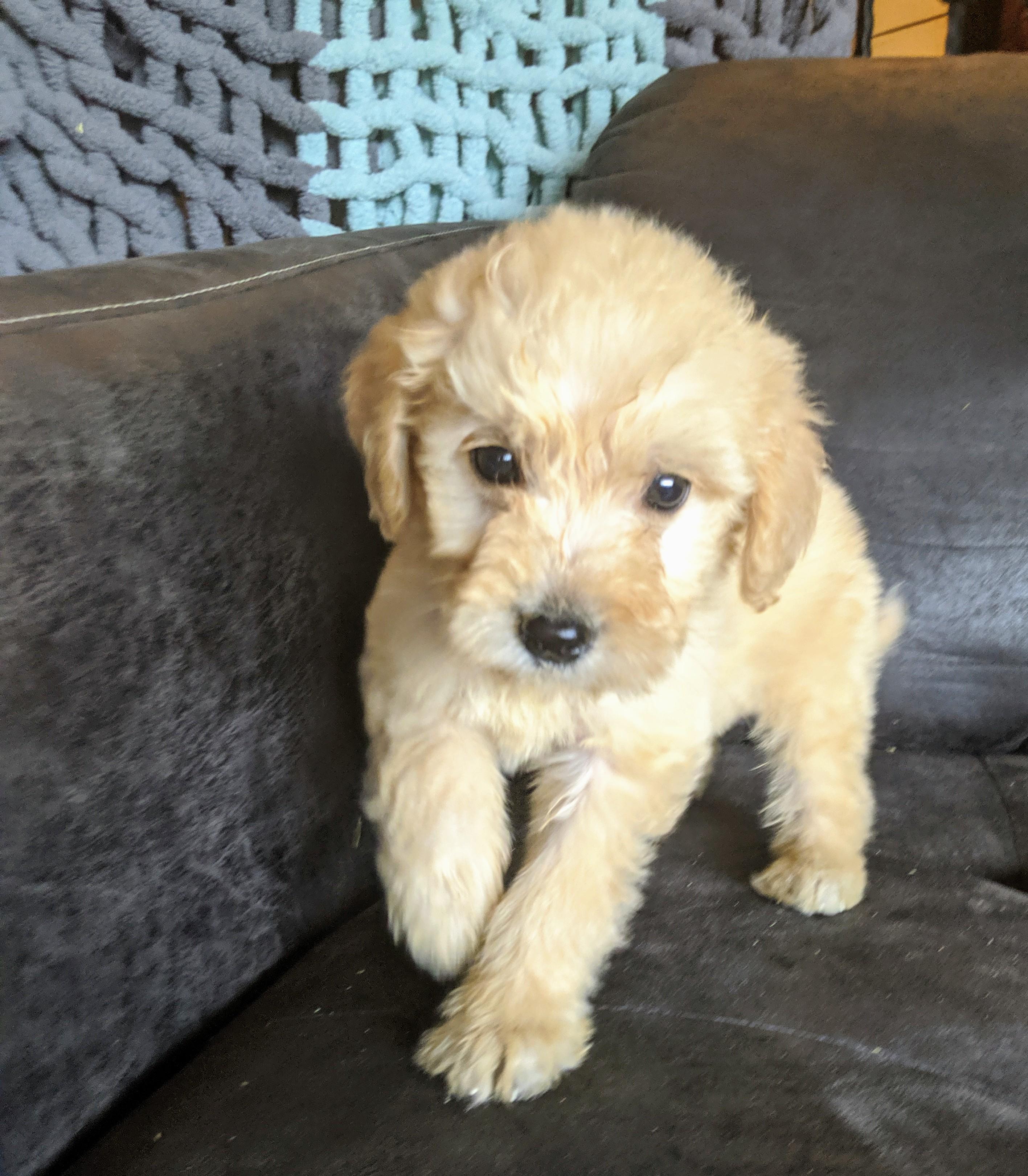 Nito Ranch Brandon Sd Bernese Mountain Dog And Golden